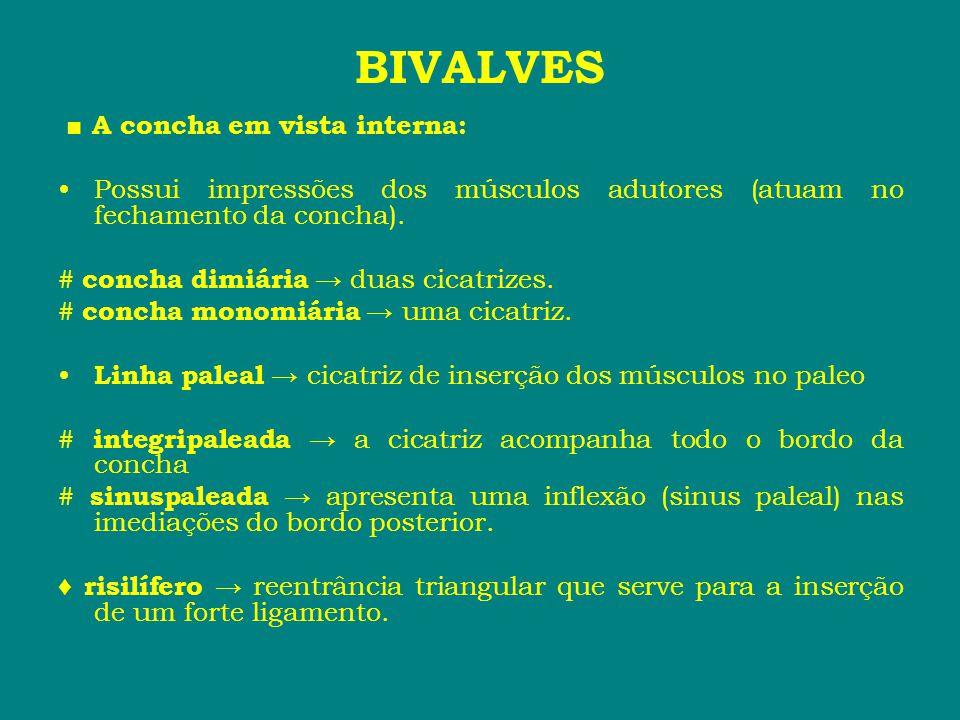 BIVALVES ■ A concha em vista interna: •Possui impressões dos músculos adutores (atuam no fechamento da concha). # concha dimiária → duas cicatrizes. #