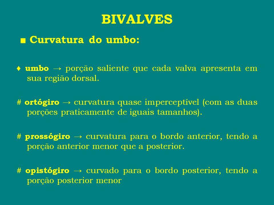 BIVALVES ■ Curvatura do umbo: ♦ umbo → porção saliente que cada valva apresenta em sua região dorsal. # ortógiro → curvatura quase imperceptível (com
