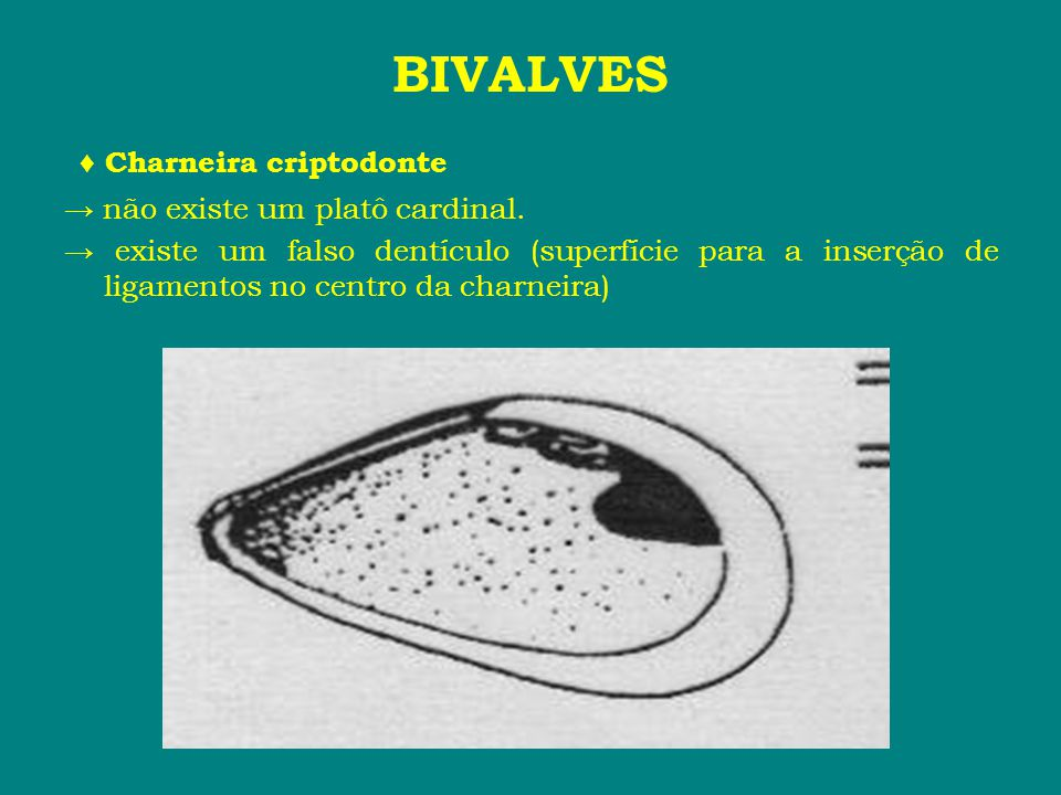 ♦ Charneira criptodonte → não existe um platô cardinal. → existe um falso dentículo (superfície para a inserção de ligamentos no centro da charneira)