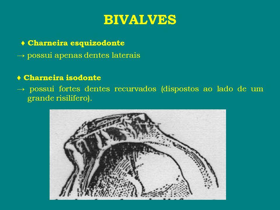BIVALVES ♦ Charneira esquizodonte → possui apenas dentes laterais ♦ Charneira isodonte → possui fortes dentes recurvados (dispostos ao lado de um gran
