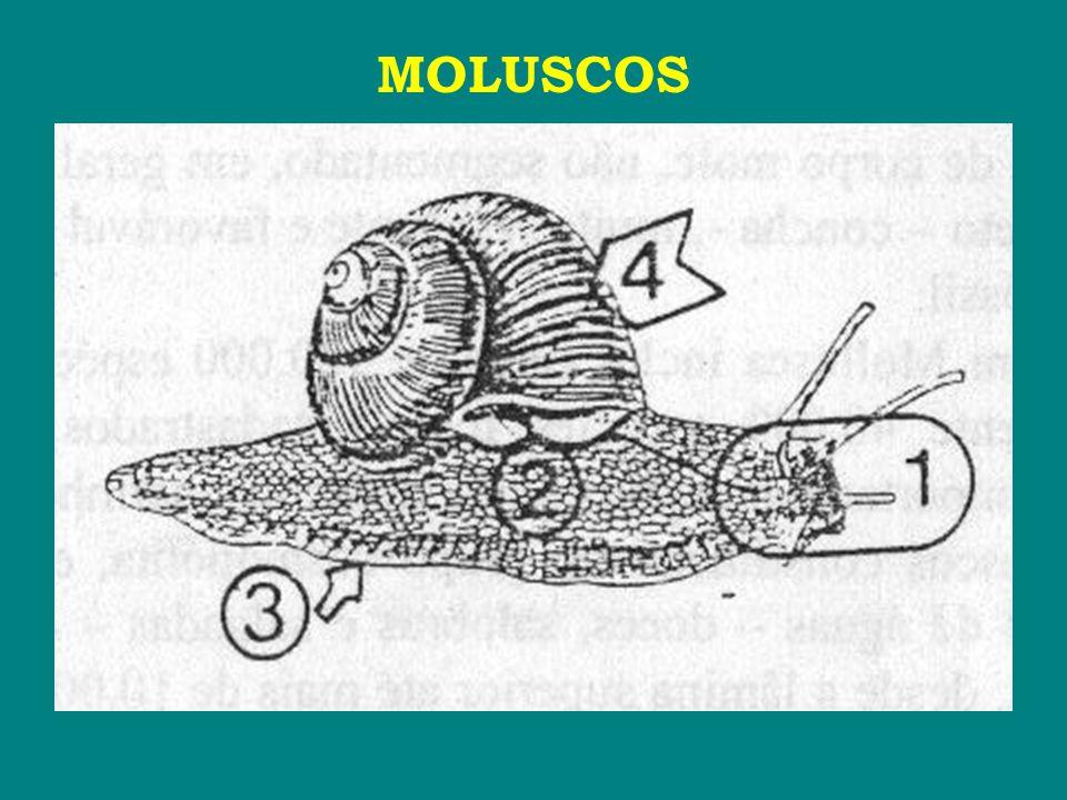 BIVALVES ■ Curvatura do umbo: ♦ umbo → porção saliente que cada valva apresenta em sua região dorsal.