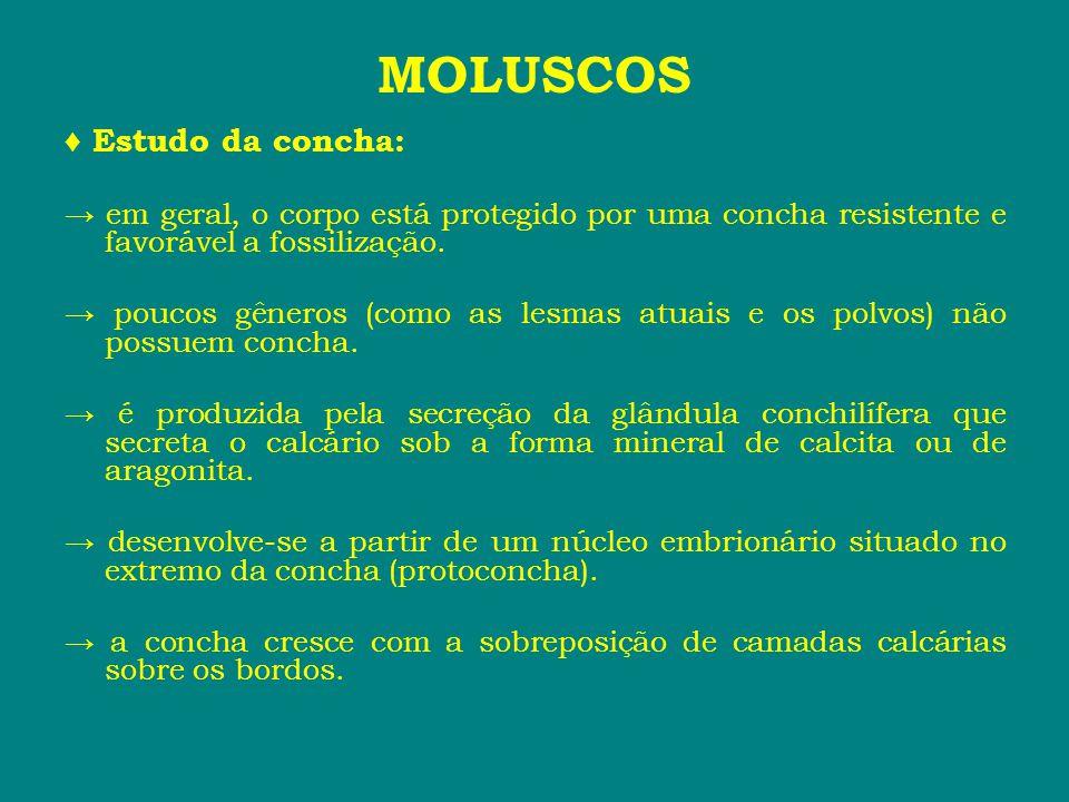 MOLUSCOS ♦ A parede da concha, num corte transversal, revela a existência de três camadas: ■ Perióstraco → camada externa.