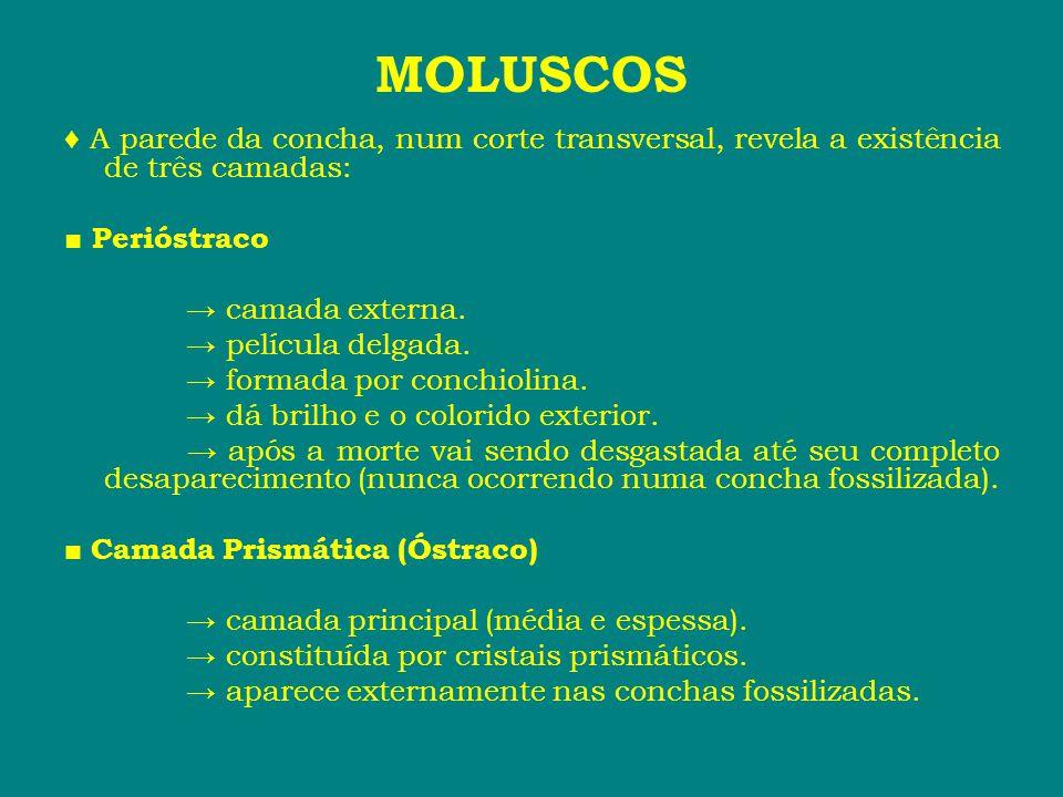 MOLUSCOS ♦ A parede da concha, num corte transversal, revela a existência de três camadas: ■ Perióstraco → camada externa. → película delgada. → forma