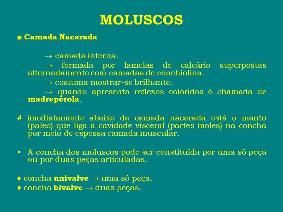 MOLUSCOS ■ Camada Nacarada → camada interna. → formada por lamelas de calcário superpostas alternadamente com camadas de conchiolina. → costuma mostra