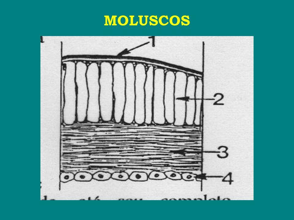 ■ O Phylum Mollusca está subdividido nas seguintes classes: Aplacophora Monoplacophora Poliplacophora Scaphopoda Bivalvia Gastropoda Cephalopoda Coniconcha ► Classe Bivalvia → grupo muito heterogêneo.