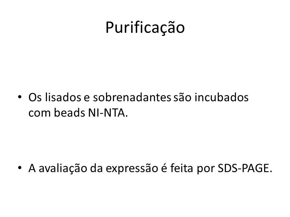 Purificação • Os lisados e sobrenadantes são incubados com beads NI-NTA. • A avaliação da expressão é feita por SDS-PAGE.