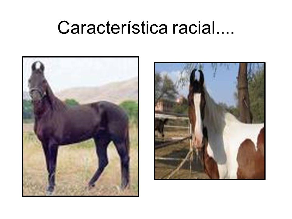 Característica racial....