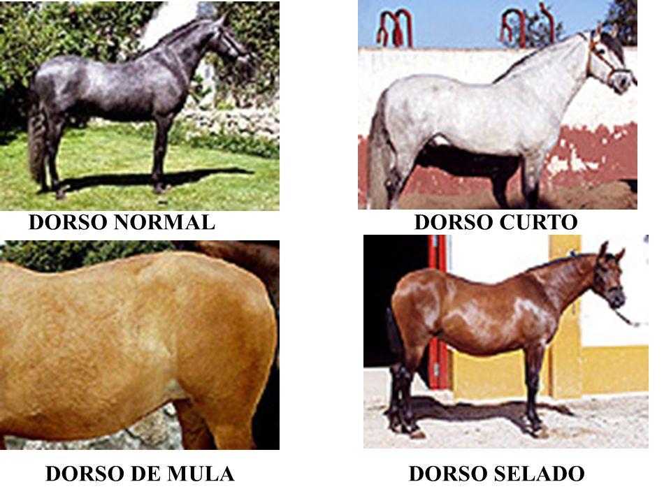 DORSO NORMALDORSO CURTO DORSO DE MULADORSO SELADO