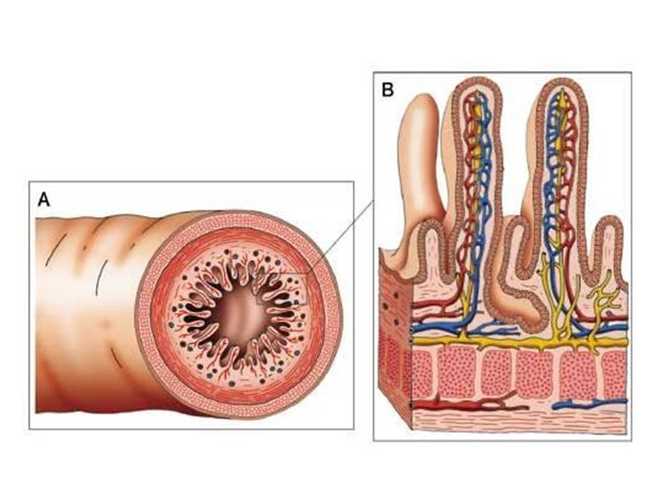 Absorção e distribuição dos nutrientes  Água, íons, minerais, vitaminas, aminoácidos e monossacarídeos = recolhidos por capilares sanguíneos das vilosidades.