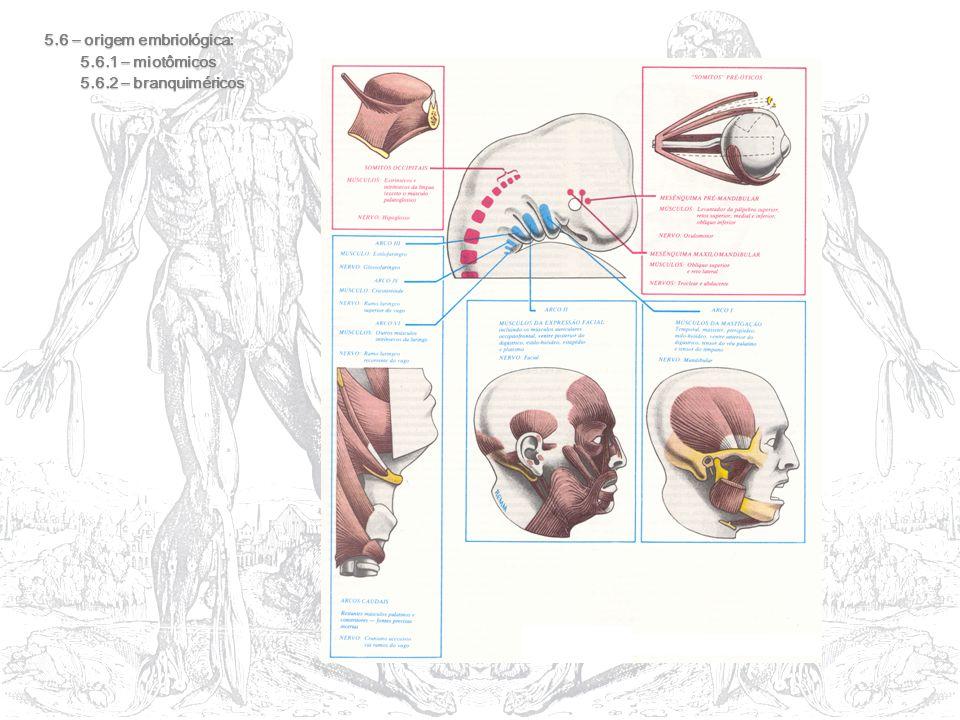 5.6 – origem embriológica: 5.6.1 – miotômicos 5.6.2 – branquiméricos