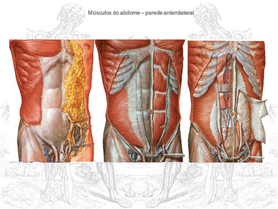 Músculos do abdome – parede anterolateral