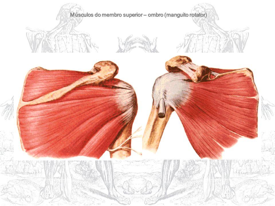 Músculos do membro superior – ombro (manguito rotator)