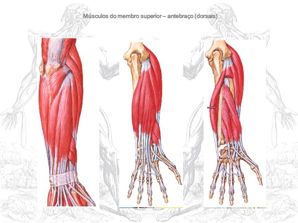 Músculos do membro superior – antebraço (dorsais)