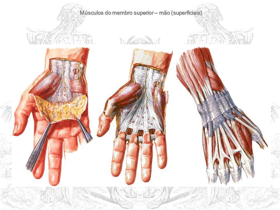 Músculos do membro superior – mão (superficiais)
