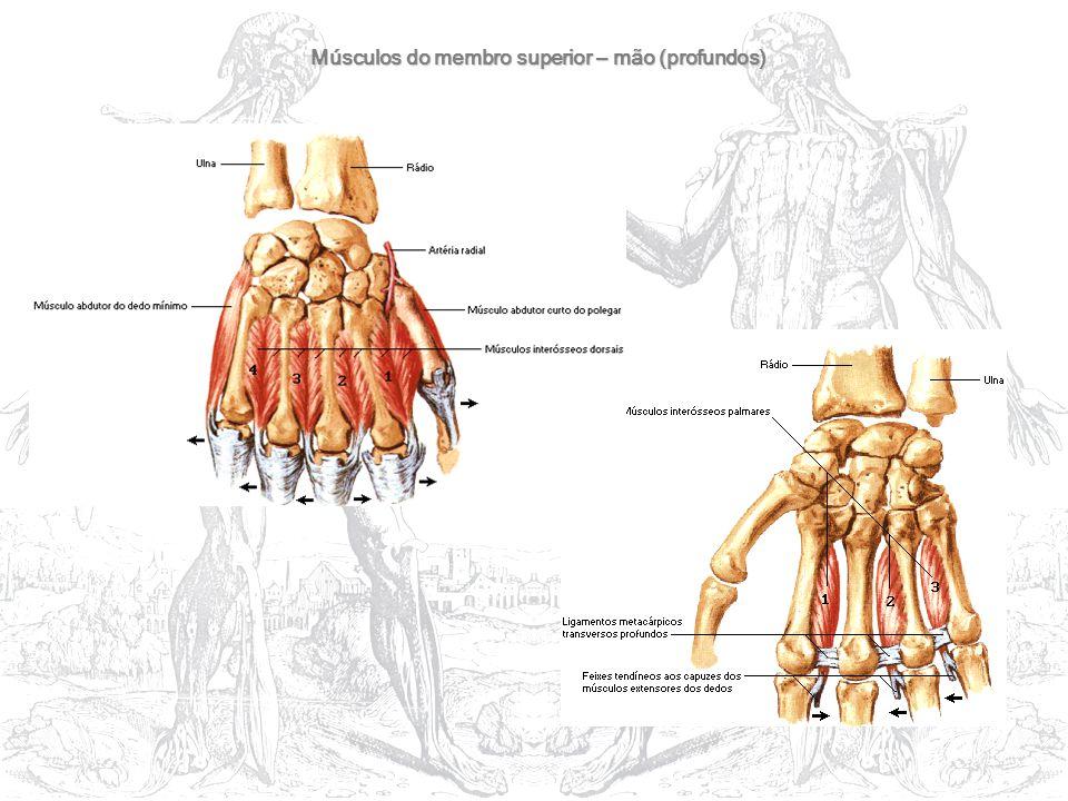 Músculos do membro superior – mão (profundos)