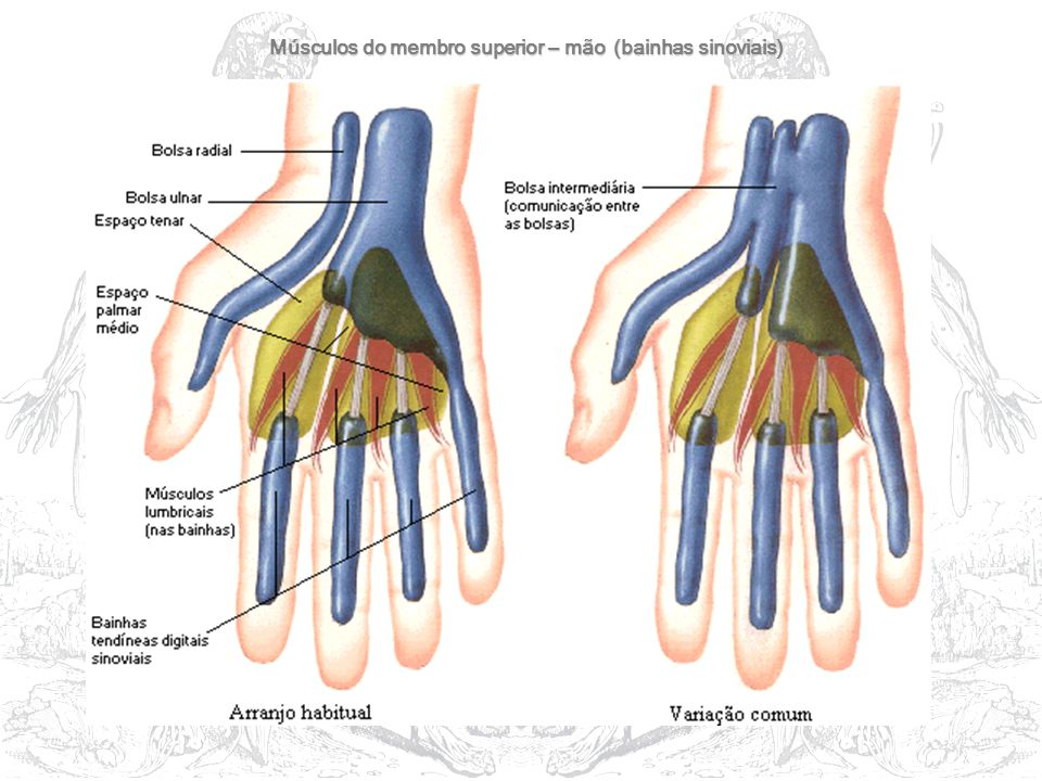 Músculos do membro superior – mão (bainhas sinoviais)