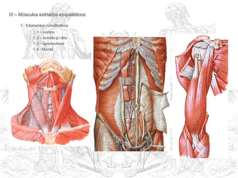 III – Músculos estriados esqueléticos: 1. Elementos constitutivos 1. Elementos constitutivos 1.1 – ventre 1.1 – ventre 1.2 – tendão p/ dito 1.3 – apon