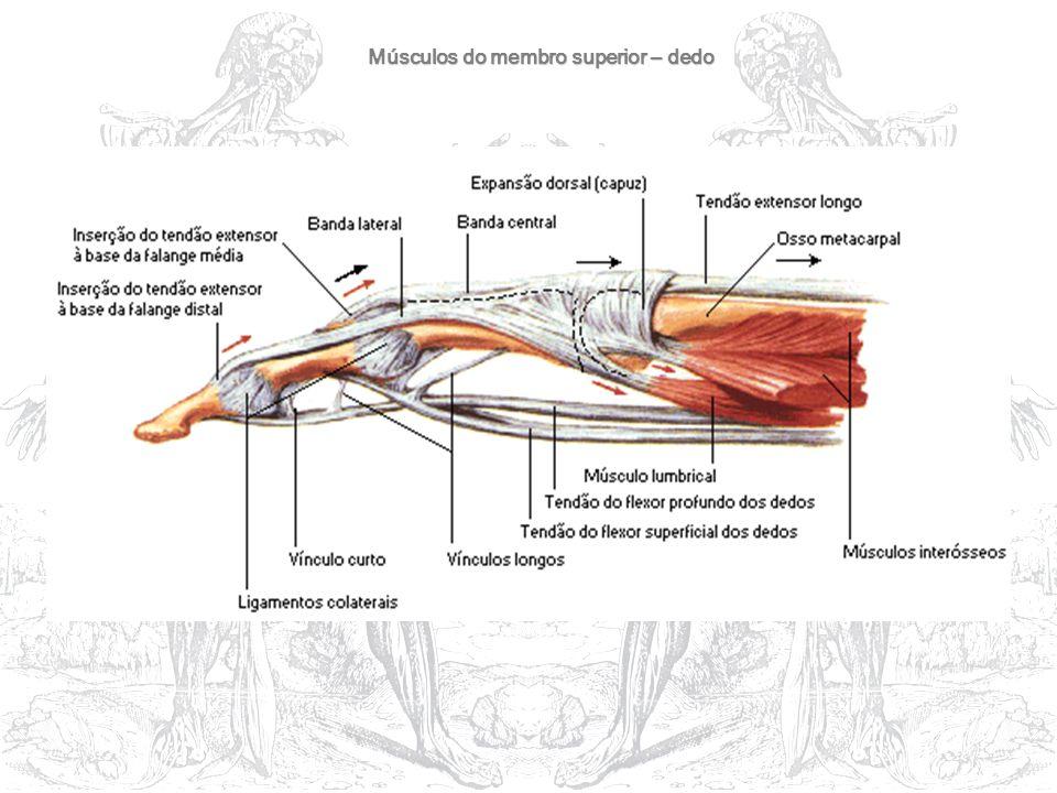 Músculos do membro superior – dedo