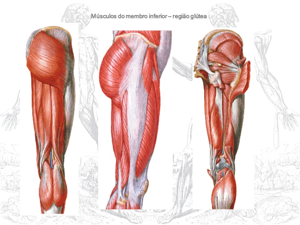 Músculos do membro inferior – região glútea