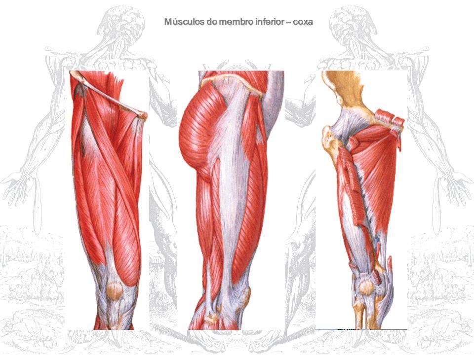 Músculos do membro inferior – coxa