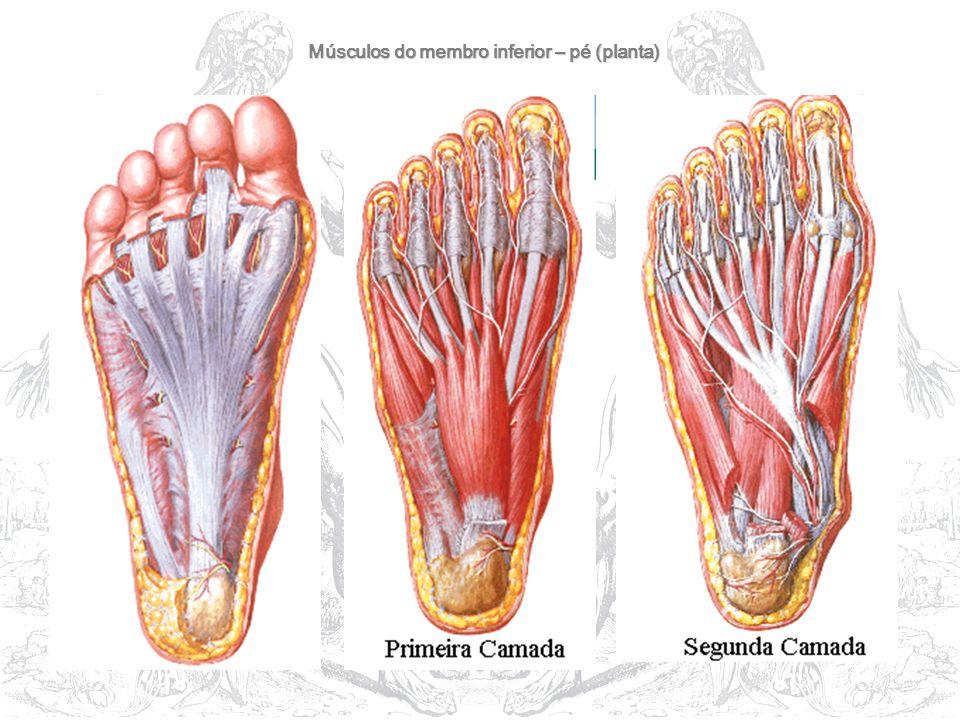 Músculos do membro inferior – pé (planta)