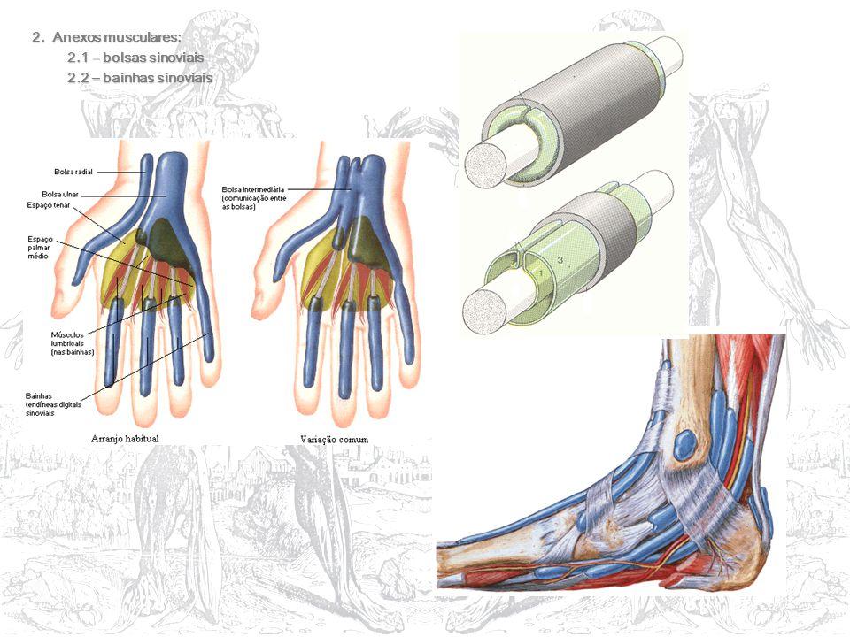 2. Anexos musculares: 2.1 – bolsas sinoviais 2.1 – bolsas sinoviais 2.2 – bainhas sinoviais 2.2 – bainhas sinoviais