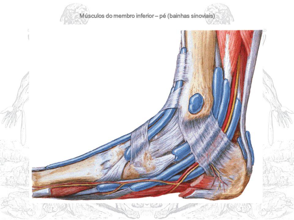 Músculos do membro inferior – pé (bainhas sinoviais)