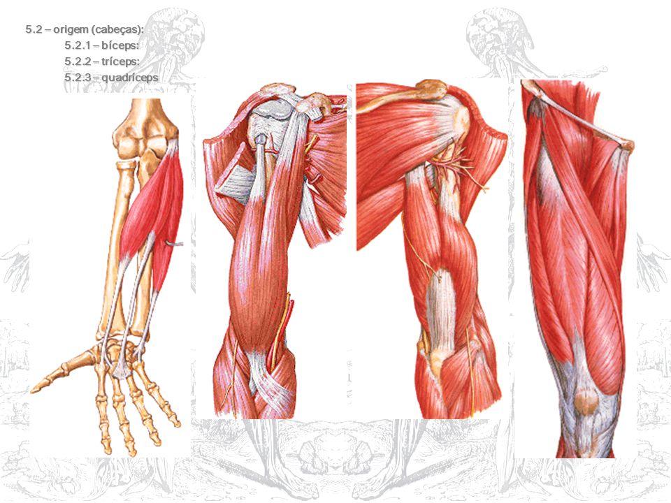 5.2 – origem (cabeças): 5.2.1 – bíceps: 5.2.2 – tríceps: 5.2.3 – quadríceps