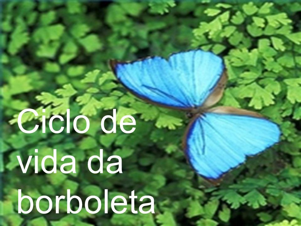 A borboleta fêmea procura uma planta para colocar seus ovos.