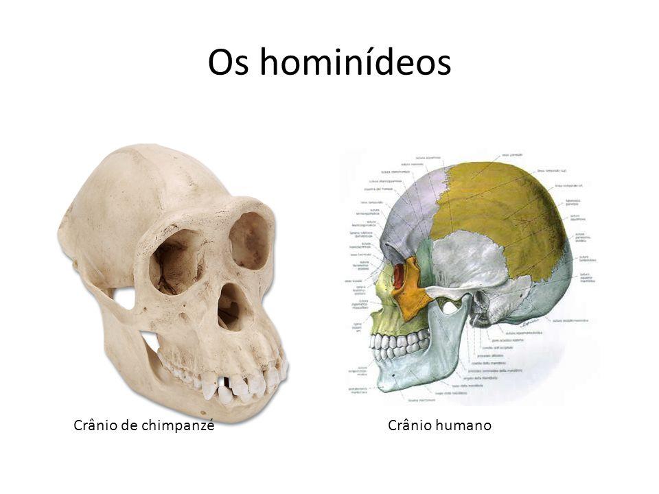 Os hominídeos Crânio de chimpanzéCrânio humano