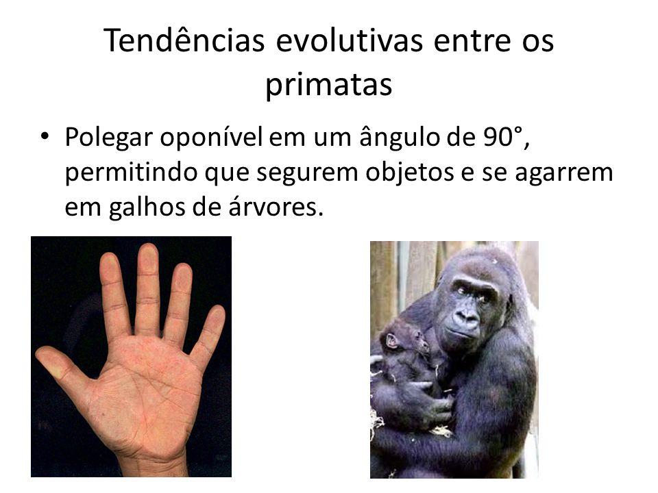 Tendências evolutivas entre os primatas • Polegar oponível em um ângulo de 90°, permitindo que segurem objetos e se agarrem em galhos de árvores.