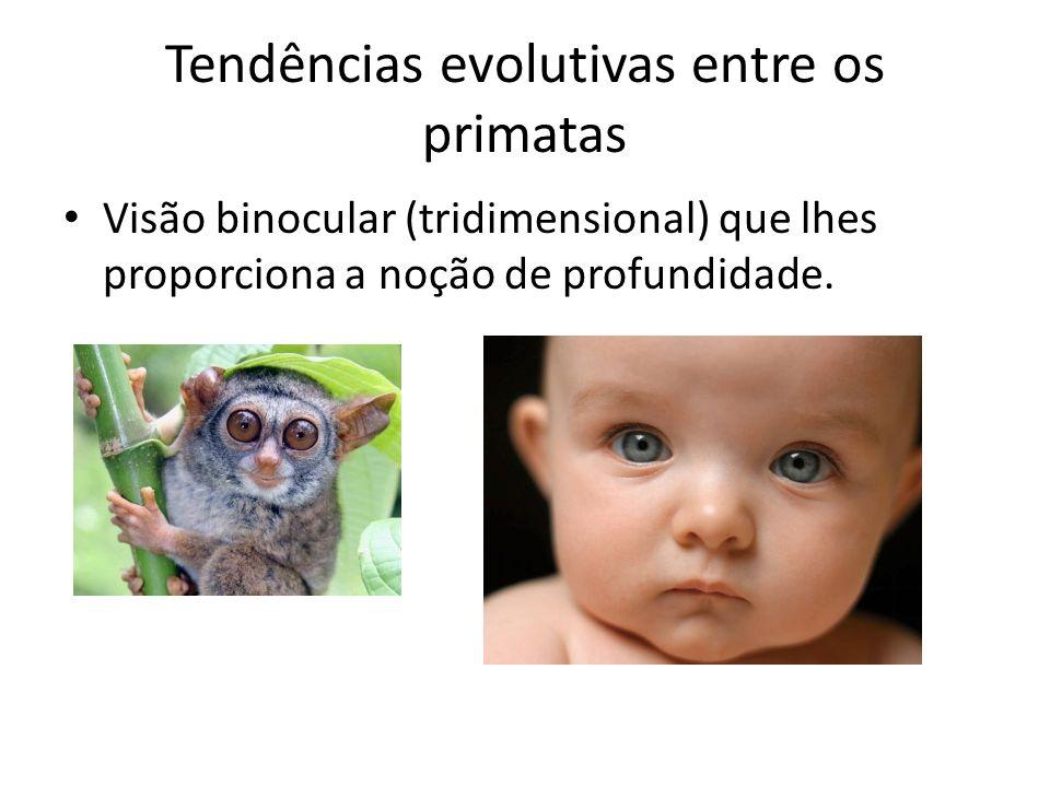 Tendências evolutivas entre os primatas • Visão binocular (tridimensional) que lhes proporciona a noção de profundidade.