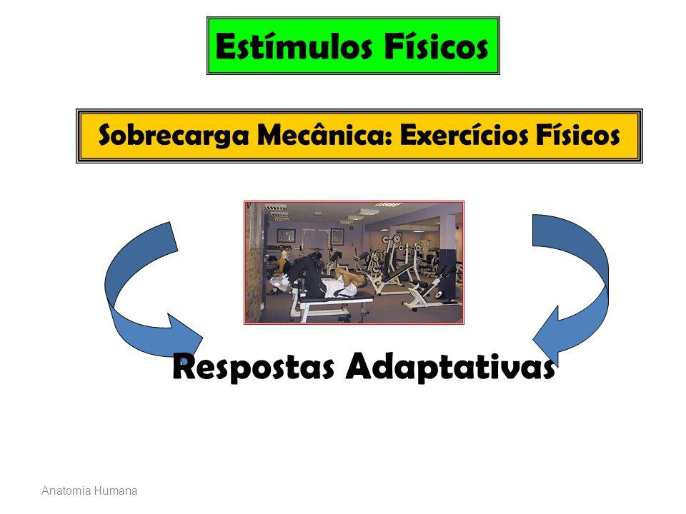 Anatomia Humana Estímulos Físicos Sobrecarga Mecânica: Exercícios Físicos Respostas Adaptativas