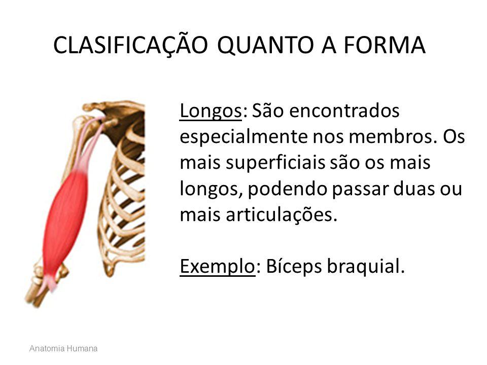 Longos: São encontrados especialmente nos membros. Os mais superficiais são os mais longos, podendo passar duas ou mais articulações. Exemplo: Bíceps