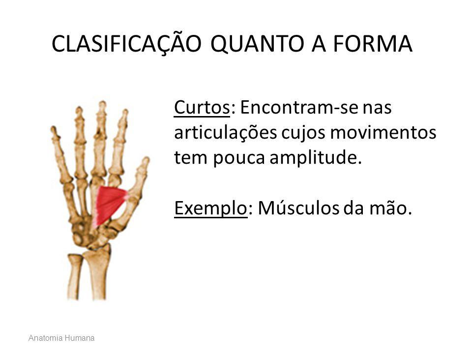 Anatomia Humana Curtos: Encontram-se nas articulações cujos movimentos tem pouca amplitude. Exemplo: Músculos da mão. CLASIFICAÇÃO QUANTO A FORMA