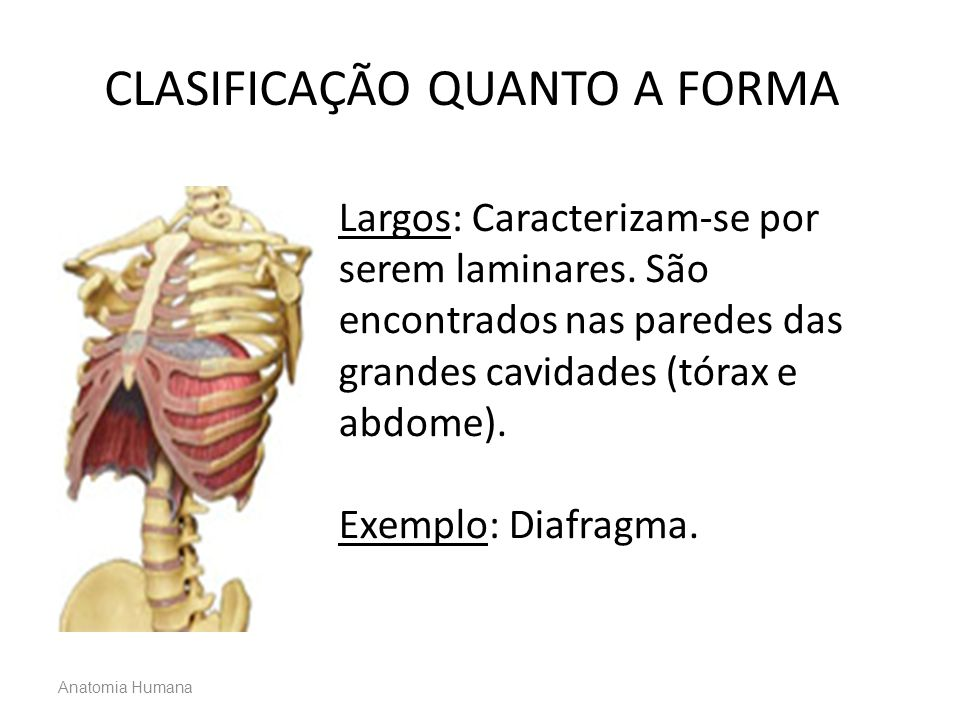 Anatomia Humana Largos: Caracterizam-se por serem laminares. São encontrados nas paredes das grandes cavidades (tórax e abdome). Exemplo: Diafragma. C