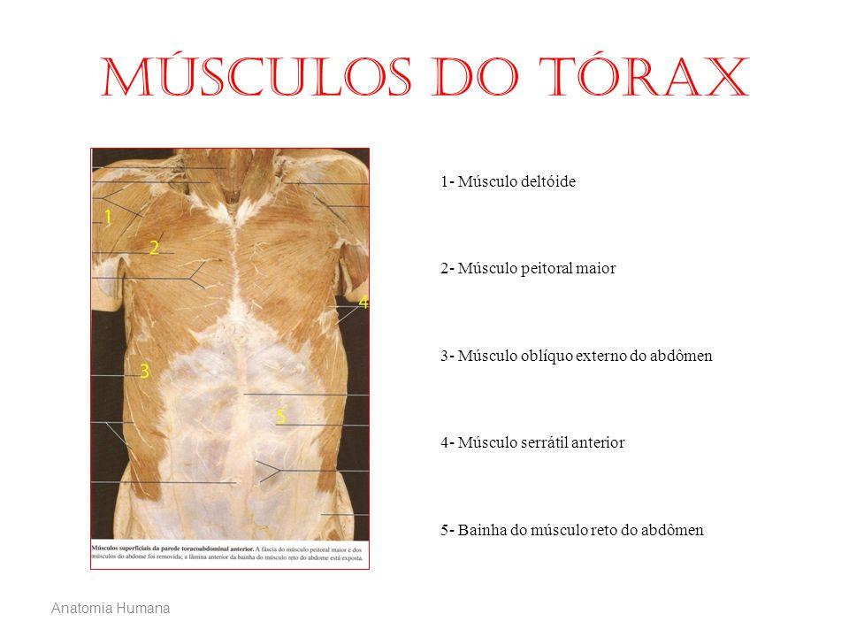 Anatomia Humana Músculos do tórax 1- Músculo deltóide 2- Músculo peitoral maior 3- Músculo oblíquo externo do abdômen 4- Músculo serrátil anterior 5-