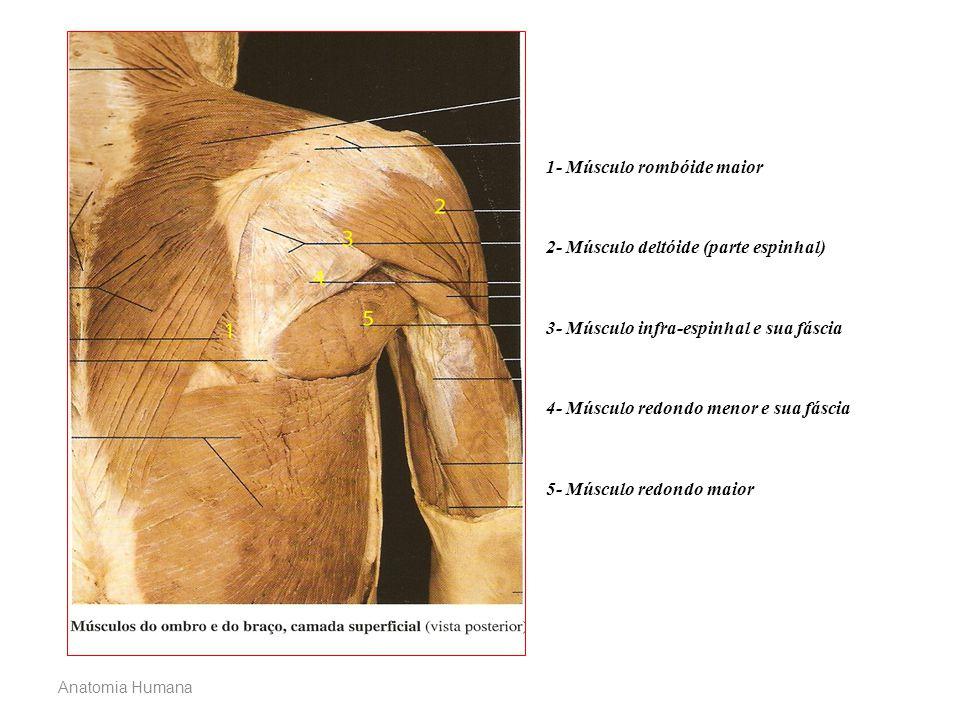 1- Músculo rombóide maior 2- Músculo deltóide (parte espinhal) 3- Músculo infra-espinhal e sua fáscia 4- Músculo redondo menor e sua fáscia 5- Músculo