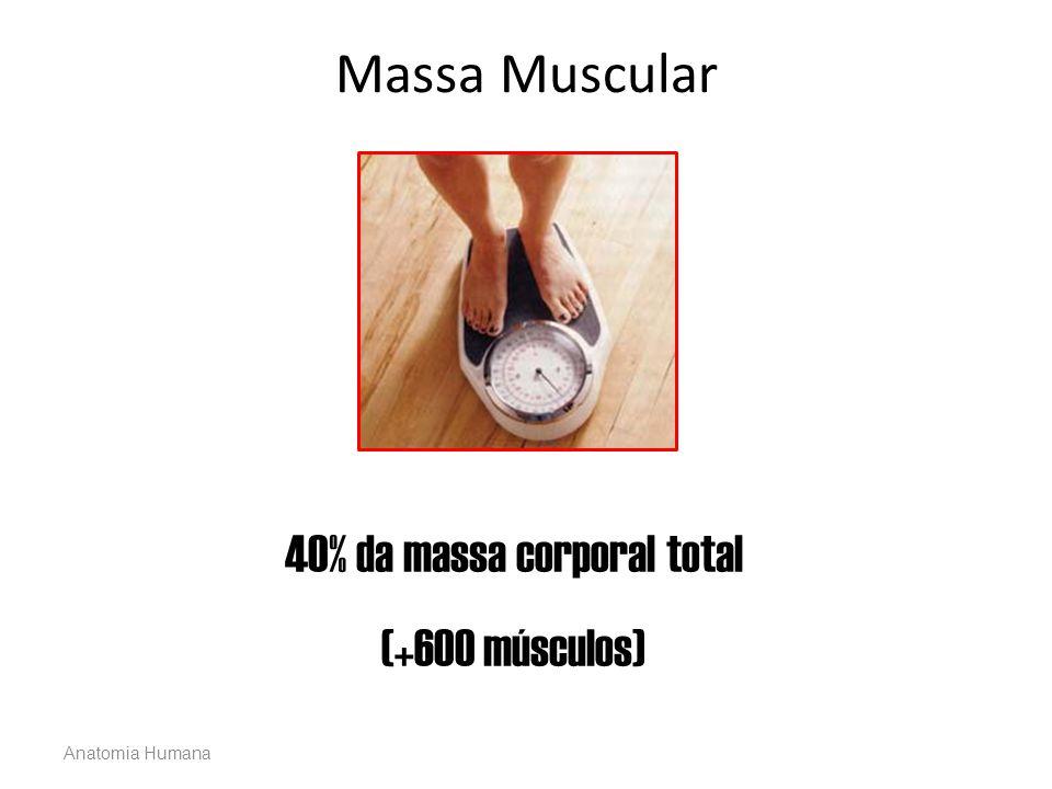 Anatomia Humana Massa Muscular 40% da massa corporal total (+600 músculos)