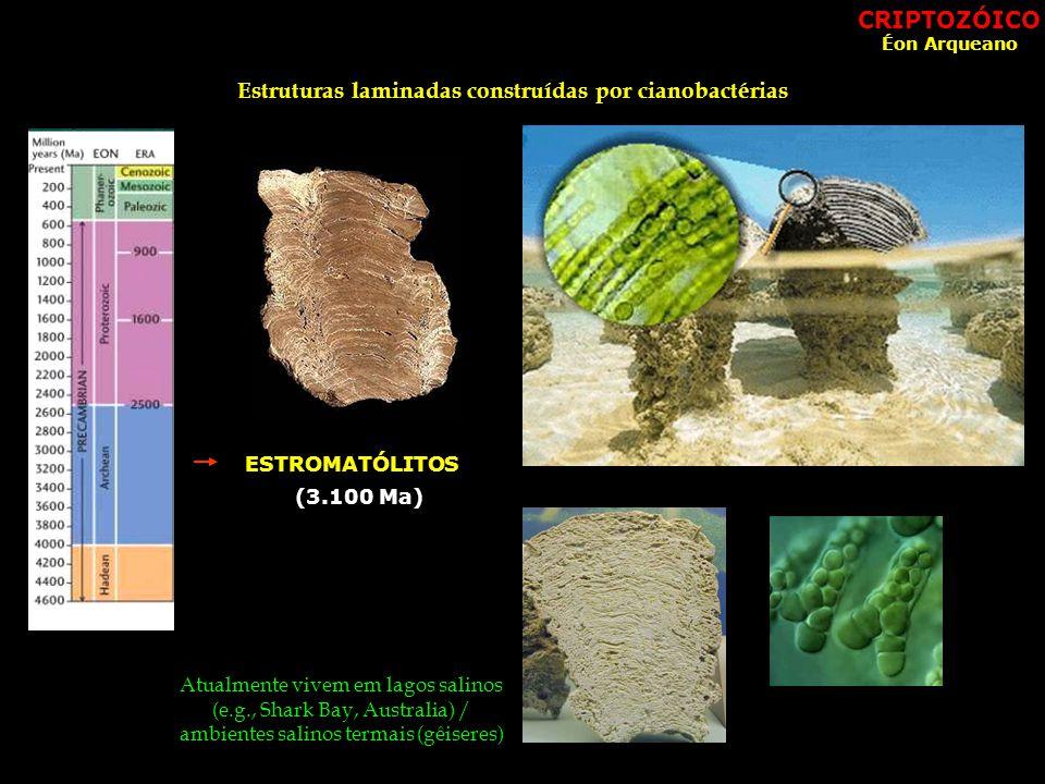 Atualmente vivem em lagos salinos (e.g., Shark Bay, Australia) / ambientes salinos termais (gêiseres) Estruturas laminadas construídas por cianobactérias ESTROMATÓLITOS (3.100 Ma) CRIPTOZÓICO Éon Arqueano