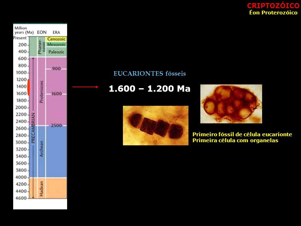 1.600 – 1.200 Ma EUCARIONTES fósseis Primeiro fóssil de célula eucarionte Primeira célula com organelas CRIPTOZÓICO Éon Proterozóico