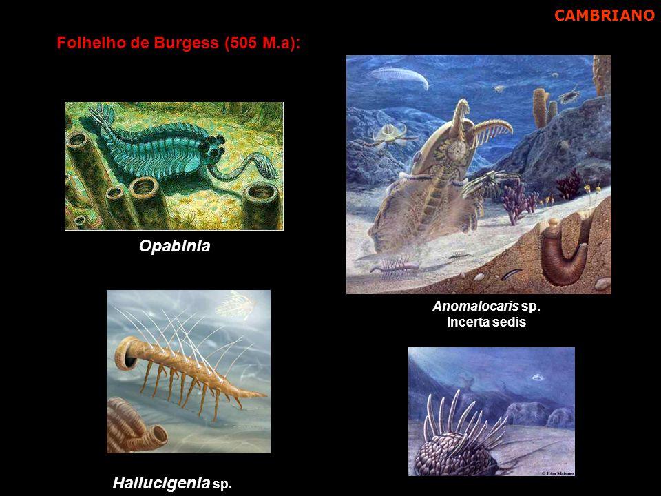 Hallucigenia sp. Anomalocaris sp. Incerta sedis Folhelho de Burgess (505 M.a): Opabinia CAMBRIANO