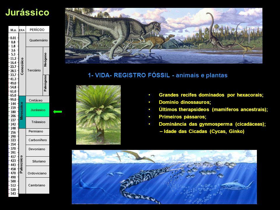 •Grandes recifes dominados por hexacorais; •Domínio dinossauros; •Últimos therapsídeos (mamíferos ancestrais); •Primeiros pássaros; •Dominância das gynmosperma (cicadáceas); – Idade das Cícadas (Cycas, Ginko) Fanerozóico Cambriano Ordoviciano Siluriano Devoniano Carbonífero Permiano Triássico Jurássico Cretáceo Terciário Quaternário Paleógeno Neógeno Paleozóico Mesozóico Cenozóico ERA PERÍODO M.a.