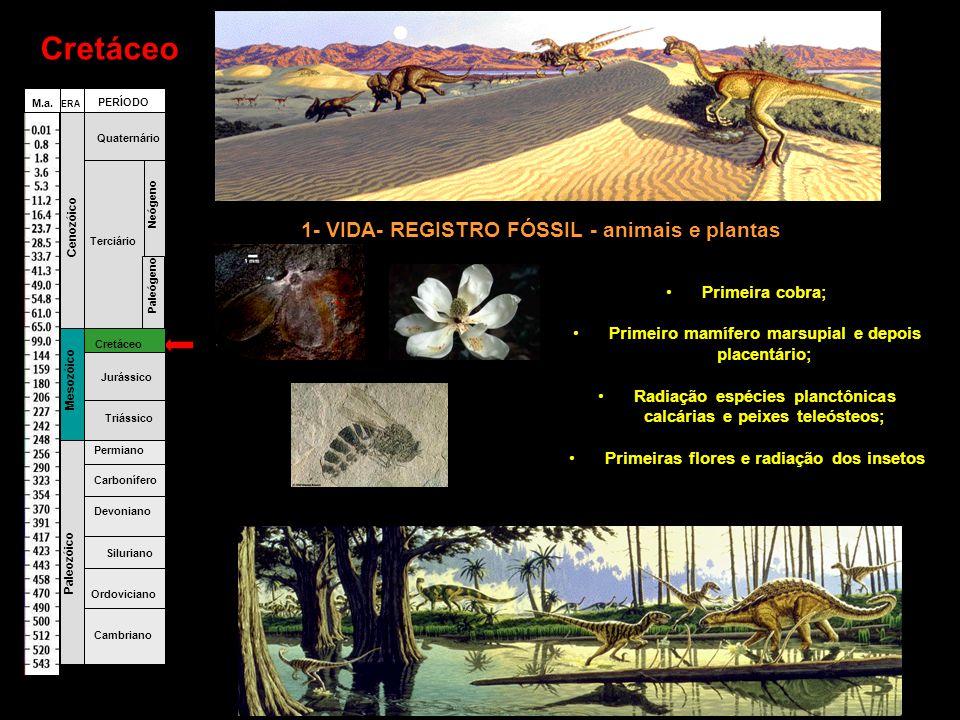 Cretáceo •Primeira cobra; •Primeiro mamífero marsupial e depois placentário; •Radiação espécies planctônicas calcárias e peixes teleósteos; •Primeiras flores e radiação dos insetos Fanerozóico Cambriano Ordoviciano Siluriano Devoniano Carbonífero Permiano Triássico Jurássico Cretáceo Terciário Quaternário Paleógeno Neógeno Paleozóico Mesozóico Cenozóico ERA PERÍODO M.a.