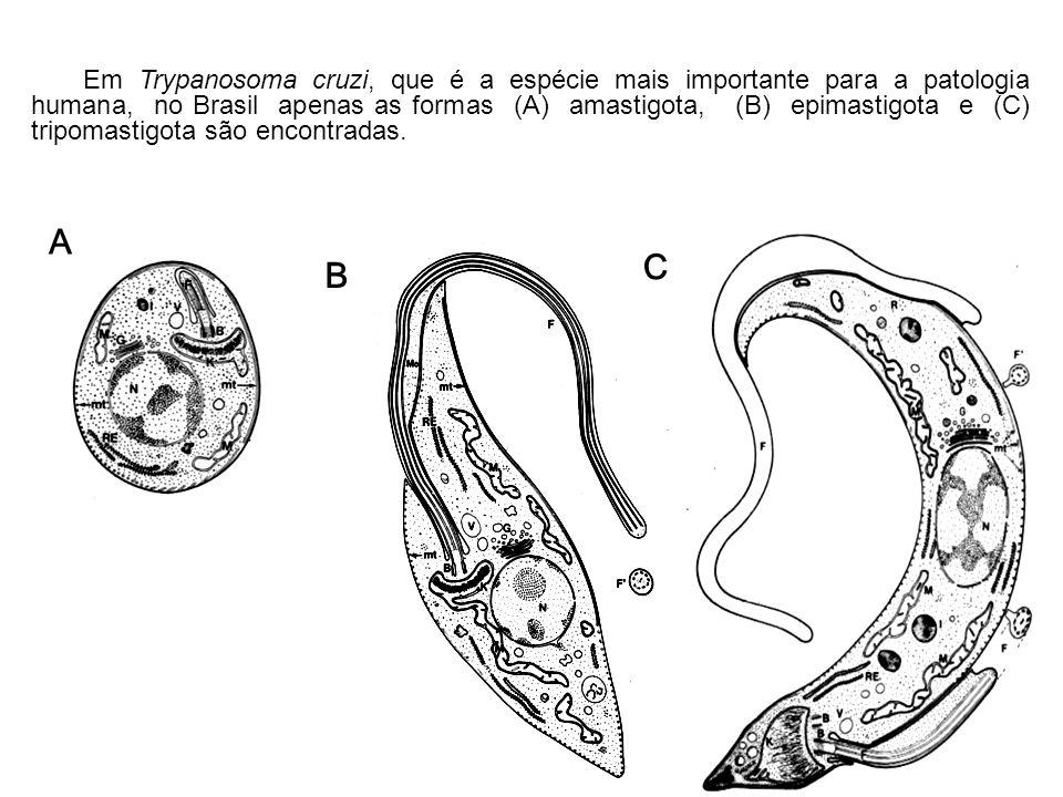 Em Trypanosoma cruzi, que é a espécie mais importante para a patologia humana, no Brasil apenas as formas (A) amastigota, (B) epimastigota e (C) tripo