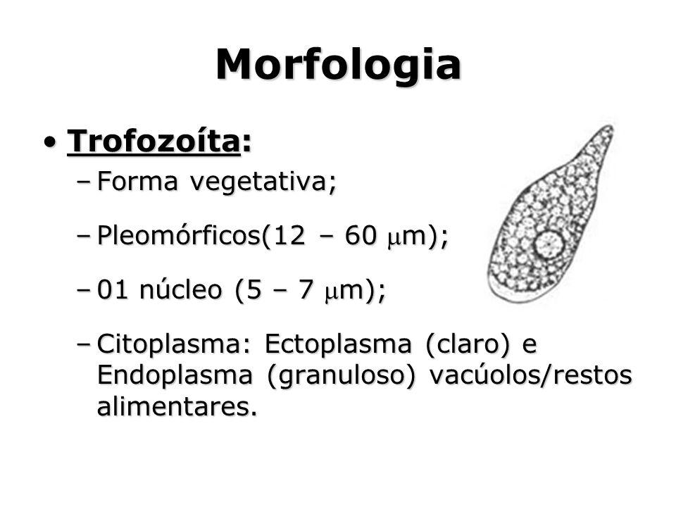 Morfologia •Trofozoíta: –Forma vegetativa; –Pleomórficos(12 – 60 m); –01 núcleo (5 – 7 m); –Citoplasma: Ectoplasma (claro) e Endoplasma (granuloso)