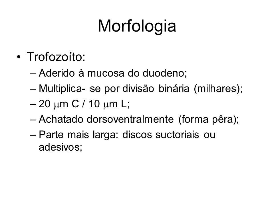Morfologia •Trofozoíto: –Aderido à mucosa do duodeno; –Multiplica- se por divisão binária (milhares); –20  m C / 10  m L; –Achatado dorsoventralment