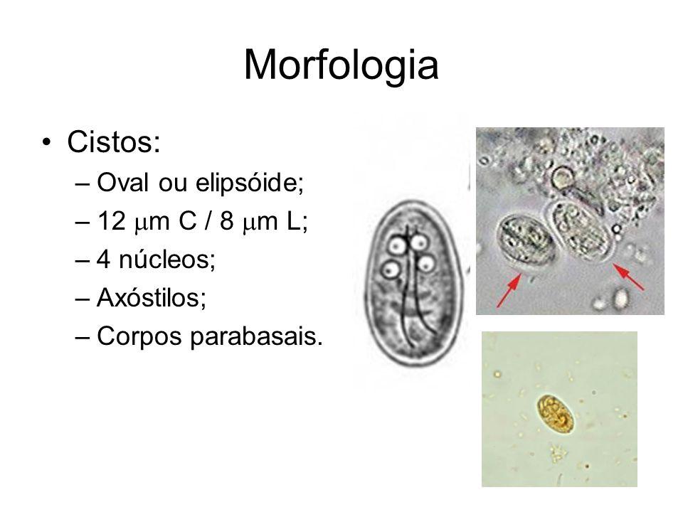 Morfologia •Cistos: –Oval ou elipsóide; –12  m C / 8  m L; –4 núcleos; –Axóstilos; –Corpos parabasais.