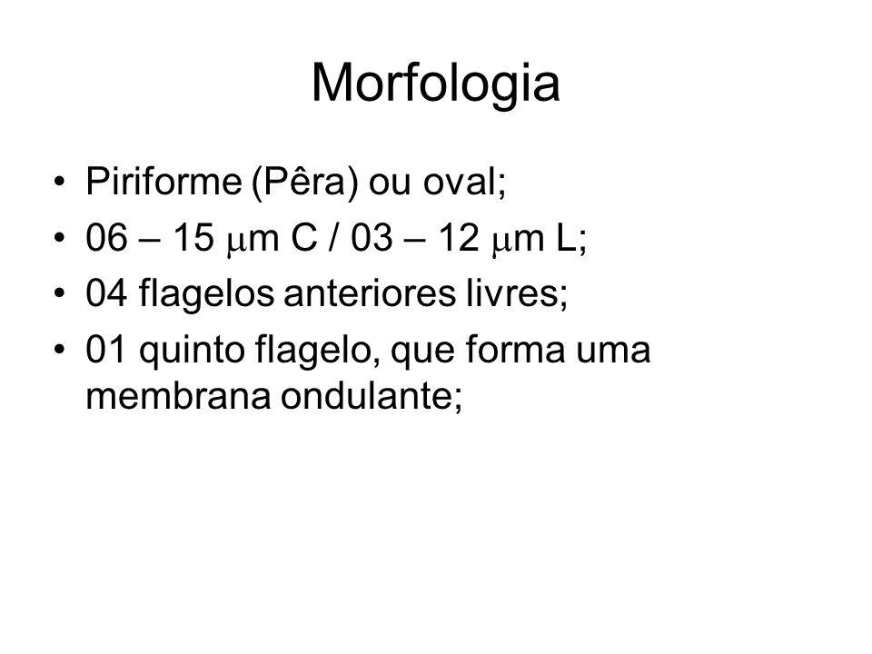 Morfologia •Piriforme (Pêra) ou oval; •06 – 15  m C / 03 – 12  m L; •04 flagelos anteriores livres; •01 quinto flagelo, que forma uma membrana ondul