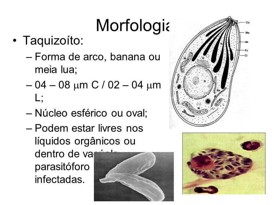 Morfologia •Taquizoíto: –Forma de arco, banana ou meia lua; –04 – 08  m C / 02 – 04  m L; –Núcleo esférico ou oval; –Podem estar livres nos líquidos